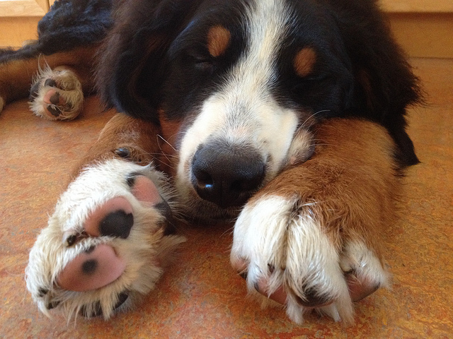 A Bernese Mountain Dog and his hairy paws. Photo by tracydonald. (CC BY 2.0).