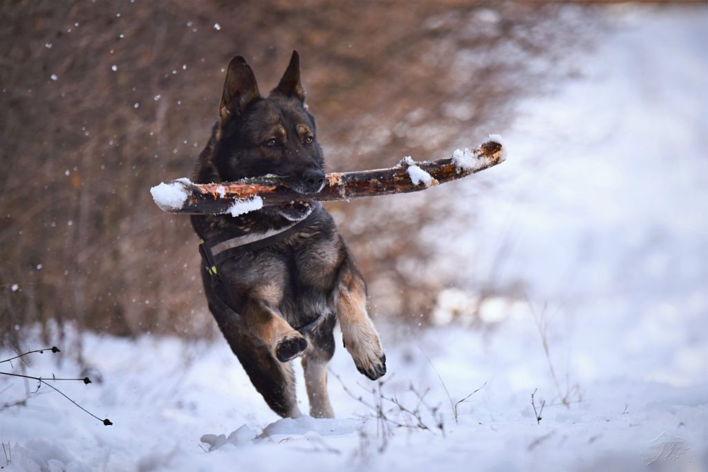 A German Shepherd playing fetch with a large stick during winter. Photo by Jozef Fehér.