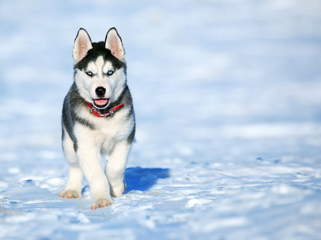 A Siberian Husky with a reflective collar in the snow. Photo by pixabay.com.