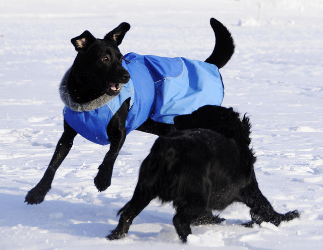 A dog with a waterproof jacket playing in the snow. Photo by smerikal. (CC BY-SA 2.0).