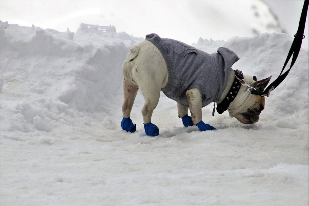 A pug in winter clothes and dog shoes. Photo by pasja1000.